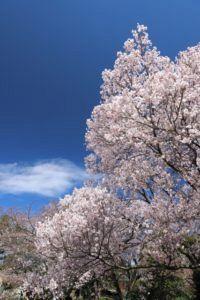 aa8e1c7bbbb445985427ebb5a0d870a4 s 200x300 - 【お花見2020】 関東・東京近辺のお花見スポット。海外からも人気で観光客も急増!