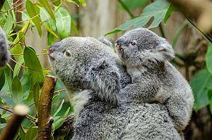 female koala and her baby 1332217 1280 - オーストラリアの山火事、今も。募金でコアラを救おう!