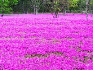 phlox 1665461 640 300x225 - 関東の芝桜を見に行こう!名所・時期・まつり