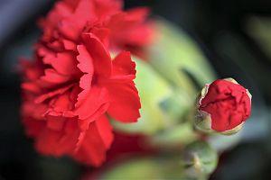 red carnations 4260546 1280 - いつも母の日にプレゼントを送るのに困る。母の日のギフトのおすすめは?2021年カレンダーで母の日はいつ?