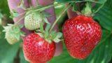 berries 713056 640 160x90 - 【埼玉のいちご狩り】地元周辺の駅チカ・おすすめイチゴ狩り