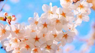 cherry blossoms 2250834 640 320x180 - 【お花見2020】 関東・東京近辺のお花見スポット。海外からも人気で観光客も急増!