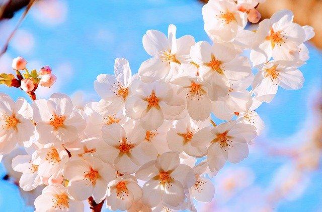 cherry blossoms 2250834 640 - 【お花見2020】 関東・東京近辺のお花見スポット。海外からも人気で観光客も急増!